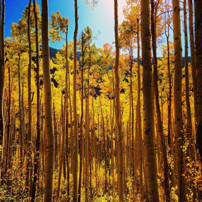 Independence Pass Colorado Aspen Trees